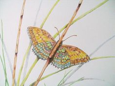 Butterfly Colored Pencil Art Print by DreanasDragonflyPie on Etsy