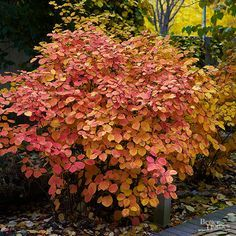 A Southeastern native, Fothergilla has a lot to offer for modern landscapes. Growing just 1 to 4 feet tall and 2 to 4 feet wide, this compact shrub can be tucked into a perennial border or a narrow foundation planting. It prefers rich, slightly moist, aci Garden Shrubs, Flowering Shrubs, Trees And Shrubs, Shade Garden, Garden Plants, Roses Garden, Evergreen Shrubs, Garden Beds, Modern Landscaping