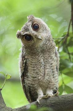 Juvenile Collared Scops Owl
