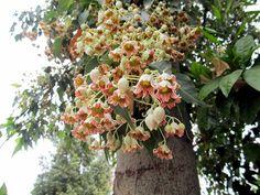 Japon kavağı ( Brachychychiton populneus ) :Anavatanı Avustralya olarak gösterilen bu bitkiye nedense ülkemizde Japon kavağı adı verilmiş.Halk arasında Çin kavağı olarak tanınan pavlonya ise farklı bir bir bitkidir