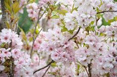 Ideal for small gardens, award-winning Prunus Amanogawa is a small, narrowly columnar deciduous tree boasting profuse, semi-double pale pink flowers hugging closely the erect branches in mid to late spring. Sweetly fragrant, the cherry blossoms stand upright (!) at the side of the branches.