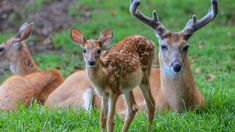 Family of whitetail deer laying in a field, Rockland, Delaware, USA, bc6f638e2be56c24a78bce2b6b4556d8