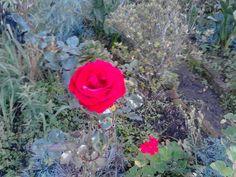 Hermosa Rosa de mi jardín en Silvia Cauca Colombia