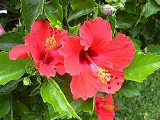 Hibiscus rosa sinensis fiore-01.jpg