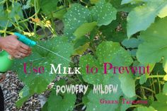 Powdery Mildew Spray with Milk.  Nip it in the Bud.
