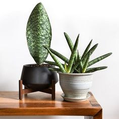 When it comes to Sansevieria are you team Whale Fin or team Starfish? When it comes to Sansevieria are you team Whale Fin or team Starfish? Green Plants, Tropical Plants, Sansevieria Plant, Sansevieria Cylindrica, Indoor Gardening Supplies, Plants Are Friends, Best Indoor Plants, Cactus Y Suculentas, Snake Plant