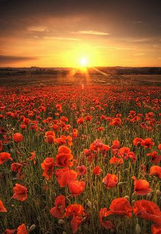 Breath-taking field of poppy flowers in the setting Sun.