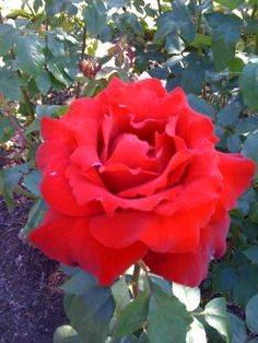 Image shows a red garden rose. Thinking about a writing platform where you can earn some money? Here's a solid review of the new and popular Bubblews website from someone who has been enjoying writing there.