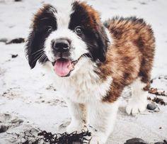 St Bernards, St Bernard Puppy, Dog Pin, Dog Boarding, Dogs Of The World, Dog Breeds, Dog Lovers, Husky, Saints