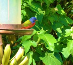Painted Buntings join us each winter.
