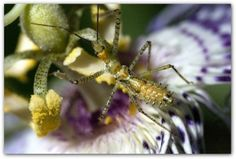 Assassin Bugs: A Natural Predator In Your Garden - Assassin bugs are beneficial insects, which should be encouraged in your garden. Read this article to learn more about these helpful garden friends and how to invite them to your landscape.