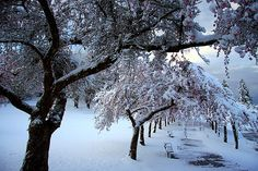 Spring Cherry 2 by justb, via Flickr