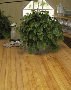How to Bring Boston Fern Indoors in the Winter
