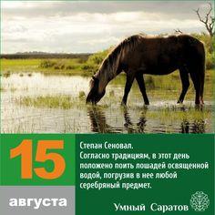 Степан Сеновал известен как покровитель лошадей. Согласно традициям, в этот день положено поить лошадей освященной водой, погрузив в нее любой серебряный предмет. Считали, что это поможет защитить животных от нечистой ...
