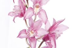 Beautiful Flowers -Pink Orchid..................