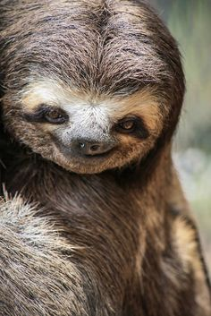 A three-toed sloth appears to be smiling at the Gnomes Ecological Ranch Sanctuary in Sao Paulo, Brazil