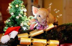 Baby Piglets, Cute Piglets, This Little Piggy, Little Pigs, Baby Animals, Funny Animals, Cute Animals, Christmas Crack, Christmas Photos