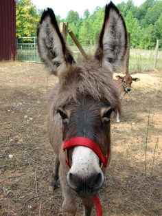 miniature donkey - look at those ears! - Bing Images