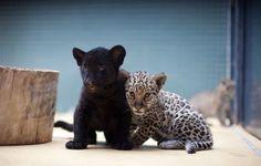 Jaguar Siblings, one Panther