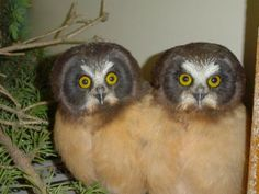 So cute and beautiful Owls. Owls are birds, very clever and profound birds. They are birds of prey.