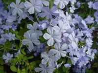 """Plumbago auriculata Plumbago -Tender perennial with profuse blue flowers which thrives in the hot Texas summer. Disease-, pest- and deer-resistant. Sometimes called """"sky flower"""" because of the sky-blue color of its flowers. Native of South Africa.    Exposure: Full sun; partial sun    Size: Height 3-4 feet tall, up to 5 feet wide    Bloom Time: May till frost."""