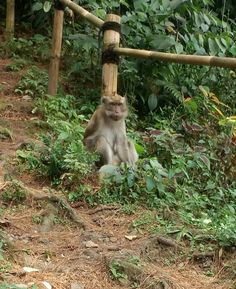 Monkey at Curug Nangka
