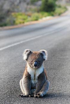 'Koala' by Cheryl Ridge. On the road againKangaroo Island, SA I have to tell youit doesn't get much better than this for someone who enjoys travelling and photographing Australia's great outdoors and its native wildlife. Fluffy Animals, Cute Baby Animals, Animals And Pets, The Wombats, Baby Koala, Baby Otters, Australia Animals, Mundo Animal, Cute Animal Pictures