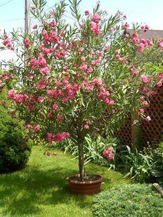 Metszés - Leanderek Asian Landscape, Magic Box, Tropical Garden, Raised Garden Beds, Container Gardening, Garden Landscaping, Wisteria, Yard, Plants