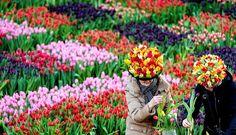 Amsterdam, Hollandia - Virágot szednek az érdeklődők az amszterdami Dam téren, amelyet a tulipánidény hivatalos kezdetének alkalmából tulipánkert díszít. Az idénynyitás alkalmából a látogatók ingyen vihetnek haza virágot az alkalmi kertből.