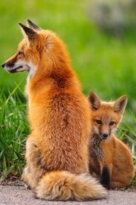 Fox & pup. They love too play with our barn cats, out in the horse pasture. Seriously, no joke... ;}