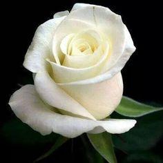 Witte roos....