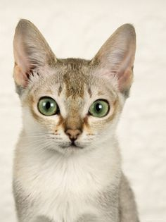 Singapura cats.  (Lived with one for 13 years and miss her very much~very sweet and intelligent).  A naturally occuring isolate from Singapore, saved by western breeders from extermination by the Singapore government in the 1970s.
