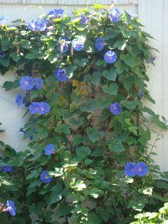 Ipoméia. Trepadeira florida que cresce rápido.