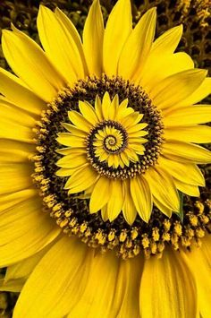 Buy Spiral sunflower by ogphoto as a matted print, mounted print, canvas print, framed print, or art prints Sunflower Garden, Sunflower Art, Unusual Flowers, Amazing Flowers, Happy Flowers, Pretty Flowers, Sun Flowers, Black Flowers, Flowers Garden
