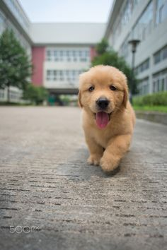 Happy golden retriever baby