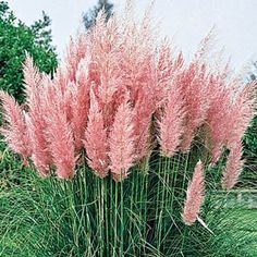 """Pink Pampas Grass - """"Tall pastel plumes. Blushing color for your sunniest sites. Stately foliage sports soft pink flumes, full and fluffy, from July through August. Shoots up 5--7 feet tall to form an outstanding screen. Dries beautifully, adds elegant height to indoor arrangements."""""""