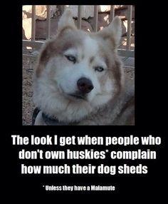 Howl-larious Husky Memes Memes) - I Can Has Cheezburger? Husky Humor, Husky Quotes, Funny Husky Meme, Dog Quotes Funny, Funny Dogs, Funny Animals, Dog Sayings, Animal Funnies, Dog Memes