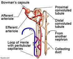 Nephron Diagram | ANATOMY | Pinterest | Radiology humor