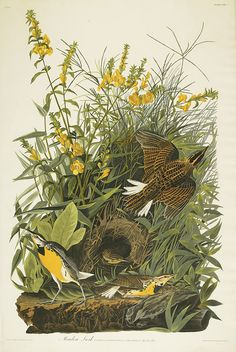 """"""" John James Audubon, Meadow Lark. Plate CXXXVI., hand-colored engraved and aquatint plate, 1832. From Maps & Atlases, Natural History & Color Plate Books auction coming up on June..."""
