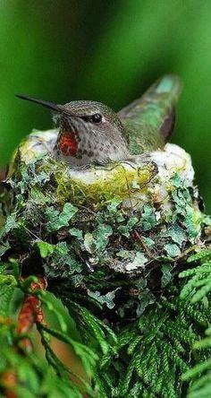 Great closeup of a Hummingbird on the nest sitting on eggs. Pretty Birds, Love Birds, Beautiful Birds, Animals Beautiful, Exotic Birds, Colorful Birds, Hummingbird Nests, Backyard Birds, Bird Pictures