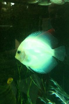 1000 images about cool fish on pinterest cool fish for Glow in dark fish