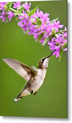 Touched Hummingbird Square Metal Print by Christina Rollo. All metal prints are professionally printed, packaged, and shipped within 3 - 4 business days and delivered ready-to-hang on your wall. Choose from multiple sizes and mounting options. Pretty Birds, Beautiful Birds, Animals Beautiful, All Birds, Little Birds, Birds Pics, Canvas Art, Canvas Prints, Art Prints