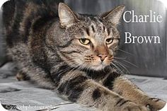 Media, PA - Domestic Shorthair. Meet Charlie Brown, a cat for adoption. http://www.adoptapet.com/pet/15473203-media-pennsylvania-cat