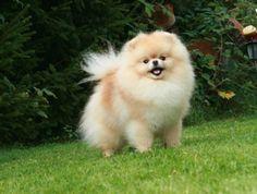 Pommania Pomeranians - Jasmine
