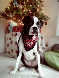Christmas Boxer Ziva