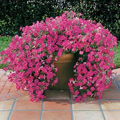 The most versatile Petunia ever grown, it adapts to trellises, bedding, hanging baskets, and even edging! Big 2 1/2- to 4-inch pink blooms blanket the plants from late spring through summer.