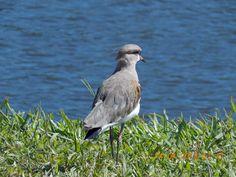 Quero-quero, ave símbolo do Rio Grande do Sul, Brasil.