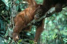 Orang-Utan in Indonesien©EIA pro wildlife