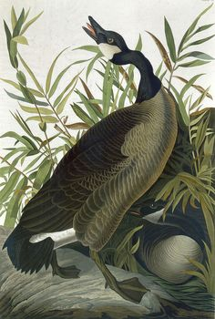 Canadian goose by John James Audubon, in the Taking Flight exhibition at the Berkshire Museum, Pittsfield, Mass.