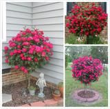 10 Quality seeds These grow feet tall with beautiful big Red Roses to color your yard or inside the home. Rose Trees, Tree Seeds, Red Roses, Planters, Yard, Outdoor Structures, Gardens, Outdoors, Color